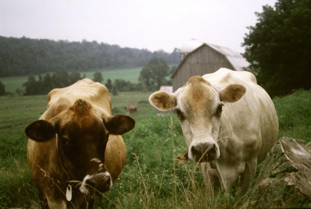 Our cheese is made from the milk of our six jersey cows