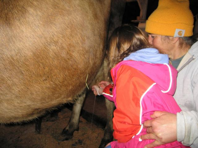 Jersey cows give the best milk for cheesemaking and they are very gentle.