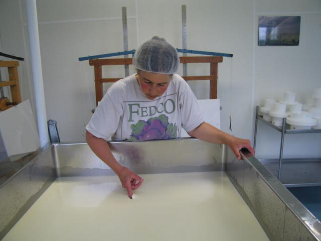 Clean break test - after rennet is added, Marjorie checks firmness of curd pre cutting.