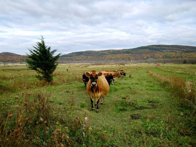 "We practice ""rotational grazing"" so our cows get new pastures every 2 days."