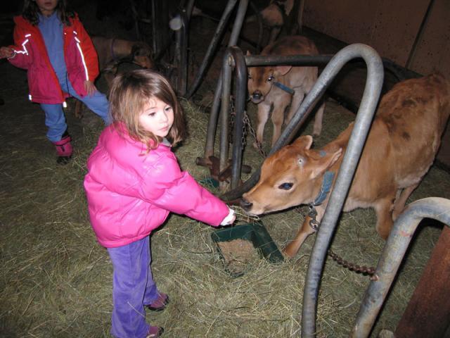 Calves, always curious.