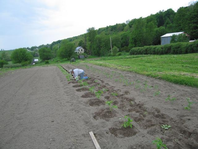 Planting Tomatoes - We plant 100's of tomato plants.