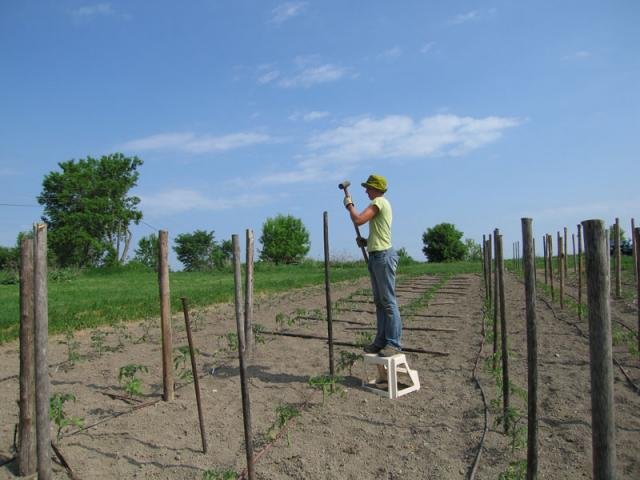 Stakes are added for the plum and regular tomatoes.