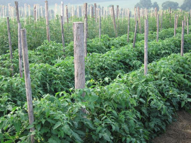 """Plum tomatoes are """"woven"""" rather then trellised"""