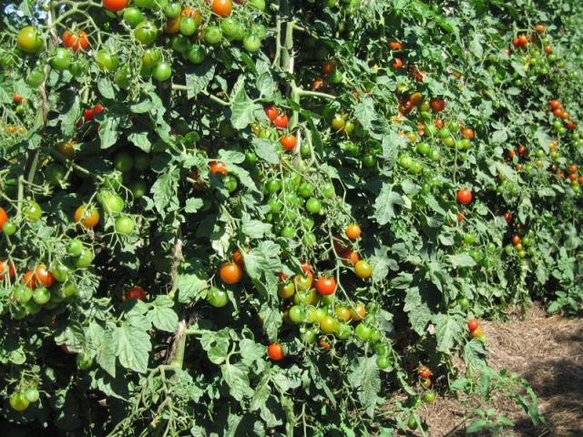 Cherry tomatoes, they hang like grapes.
