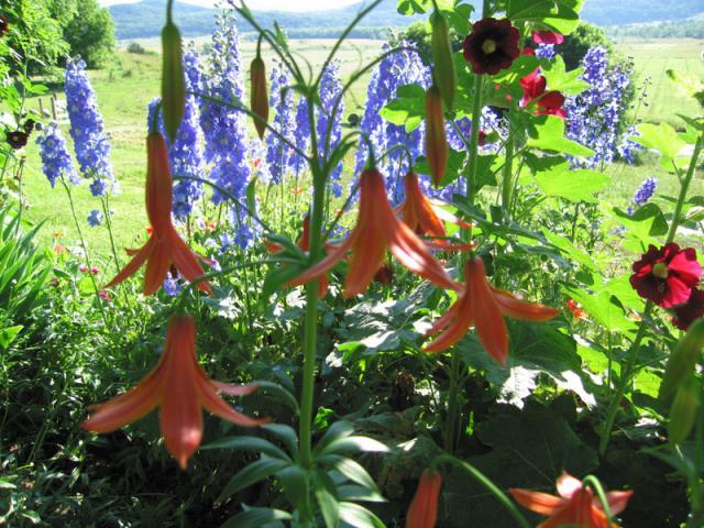 Lilies & Delpheniums